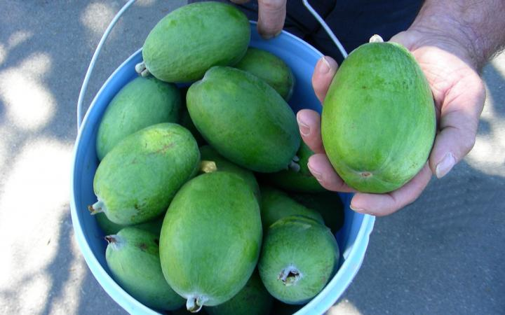 Feijoa-Kaiteri-in-the-bucket-touched.jpg