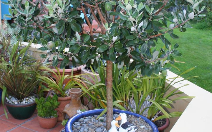 Feijoa-tree-in-pot.jpg