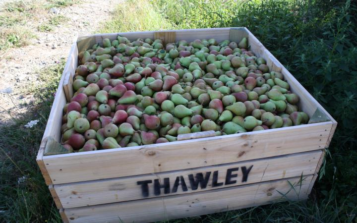 Pear-Carmen-picked-bin-22Jan-2013.jpg